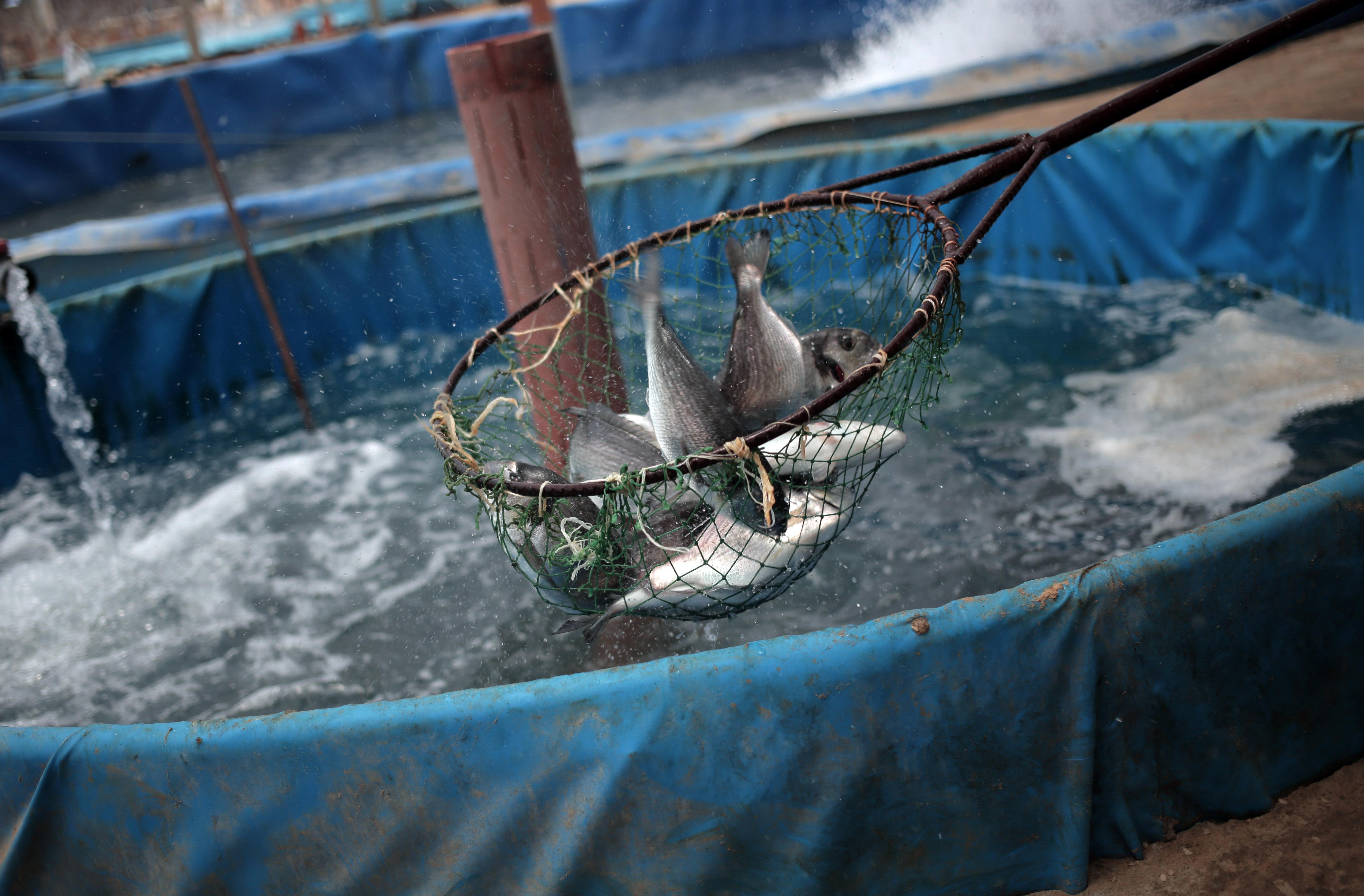 Crean en la franja de gaza criaderos de peces noticias for Granja de peces ornamentales