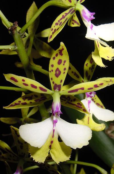 Crearán orquídeas adaptadas para el calor extremo de Yucatán