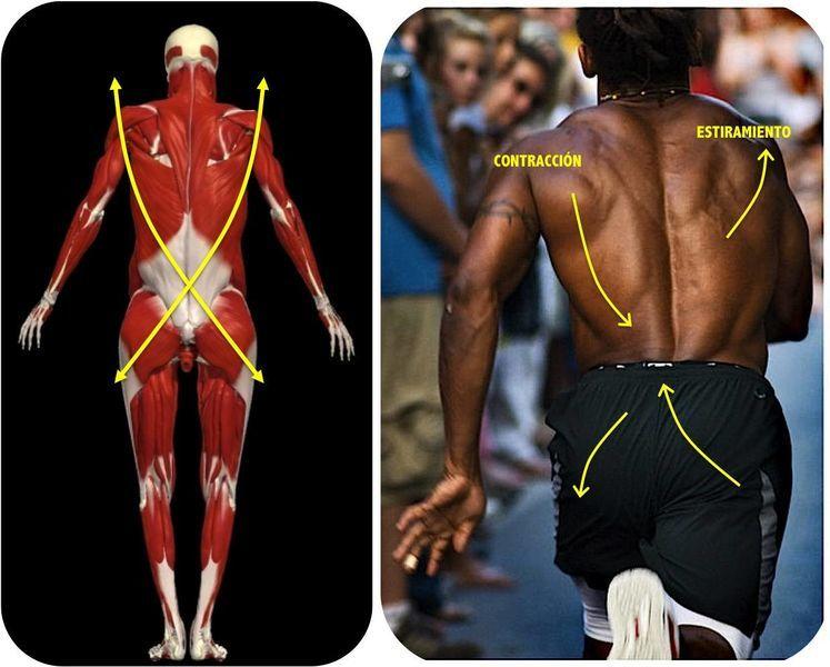 Sabes Cuántos Músculos Usas Al Correr Novedades Quintana Roo